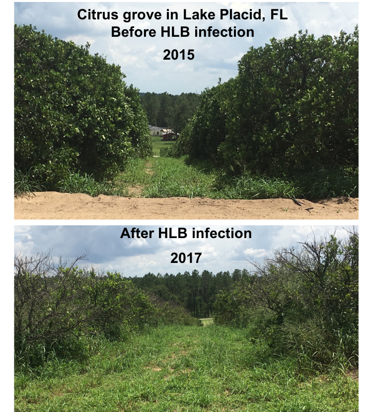 citrus grove in lake placid, florida before and after HLB infection